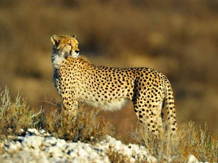Cheetah-on-dune-Kgalagadi-MAR_9998